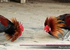 Kelamaha Pada Ayam Aduan Bangkok