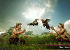 Serangan Mematikan Ayam Blorok Madu
