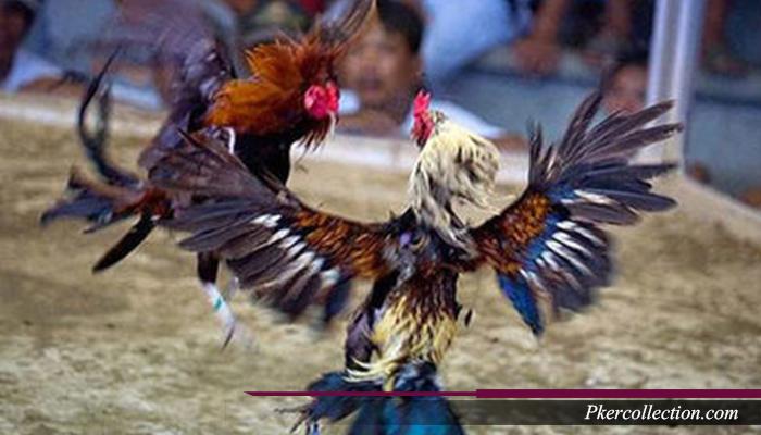 Trik Meruncingkan Paruh Ayam Aduan Bangkok