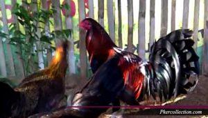 Ukuran Standar Ayam Bangkok Jenis Petarung