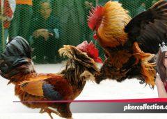 8 Point Penilaian Kemampuan Sabung Ayam