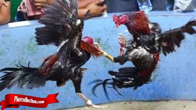Yang Di Maksut Jurus Bongkar Ayam Bangkok