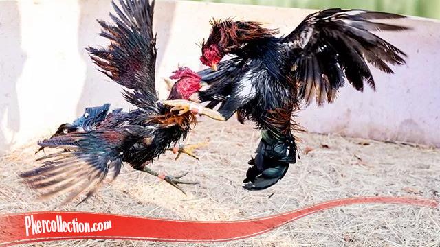 Rahasia Untuk Tingkatkan Mental Ayam S128