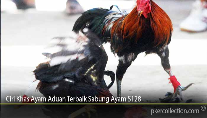 Ciri Khas Ayam Aduan Terbaik Sabung Ayam S128
