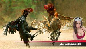 Cara Merawat Ayam Menghadapi Musim Kemarau