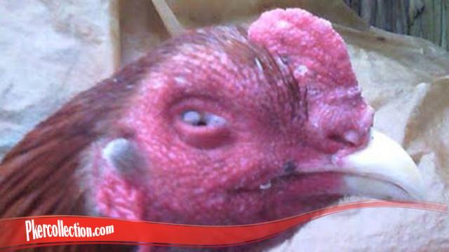 Rahasia Untuk Sembuhkan Mata Ayam S128